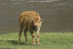 北美野牛小牛 免版税库存图片