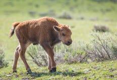 北美野牛小牛 免版税图库摄影