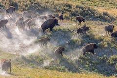 北美野牛惊逃在黄石国家公园 免版税库存照片