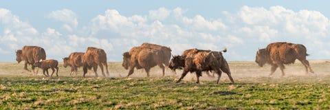 北美野牛惊逃 库存照片