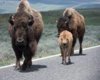 北美野牛成人和小牛在路 免版税库存照片