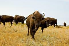 北美野牛或水牛牧群  库存图片