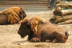 北美野牛或者欧洲北美野牛拉特 北美野牛bonasus是动物种类 免版税库存照片