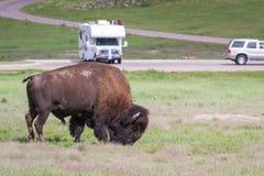 北美野牛或水牛 库存图片