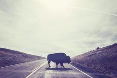 北美野牛横穿路剪影  免版税库存图片