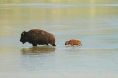 北美野牛横穿 免版税库存照片