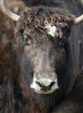 北美野牛欧洲 库存图片