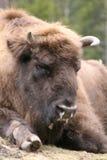 北美野牛欧洲 库存照片