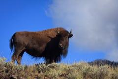 北美野牛母牛 图库摄影