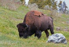 北美野牛水牛城吃草在海登谷的公牛近对峡谷村庄在黄石国家公园在怀俄明美国 免版税库存照片