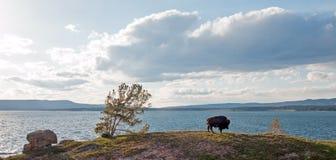 北美野牛水牛城吃草在Yellowstone湖旁边的公牛在黄石国家公园在怀俄明美国 库存图片