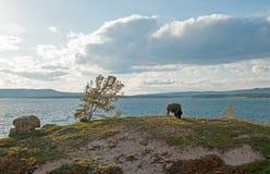 北美野牛水牛城吃草在Yellowstone湖旁边的公牛在黄石国家公园在怀俄明美国 免版税库存照片