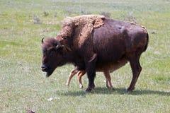 北美野牛水牛城有护理小小牛的母牛母亲在黄石国家公园Lamar谷在怀俄明美国 图库摄影