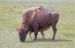 北美野牛水牛城有护理小小牛的母牛母亲在黄石国家公园Lamar谷在怀俄明美国 免版税库存照片