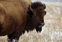 北美野牛注视 库存图片