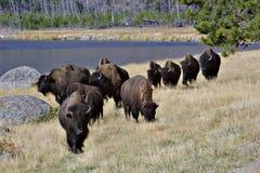 北美野牛游行 免版税库存图片