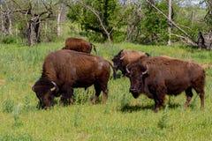 北美野牛漫游范围的一个小小组在俄克拉何马 图库摄影