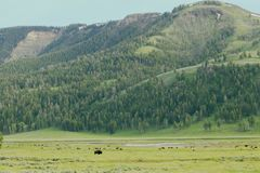 北美野牛牧群和蒙大拿小山 库存图片