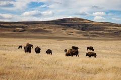 北美野牛牧群在南亚伯大在蓝天下 免版税库存照片