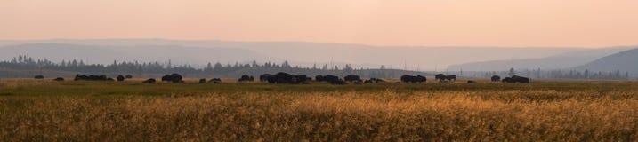 北美野牛牧群的全景  免版税图库摄影