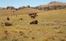 北美野牛牧群 buffaloed 北美野牛的家庭 作为背景的黄石公园 免版税库存照片