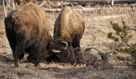 北美野牛用头撞 免版税库存图片