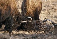 北美野牛用头撞 免版税库存照片