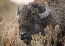 北美野牛盛大Tetons 2014年和2015年 库存图片