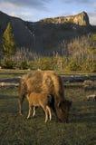 北美野牛看护 免版税库存图片