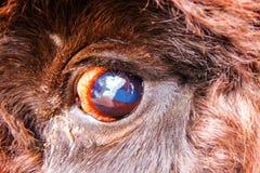 北美野牛眼睛 r 免版税库存图片