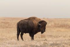 北美野牛站立在大草原的公牛 免版税库存图片