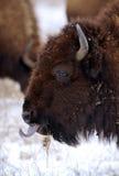 北美野牛舌头 免版税库存图片