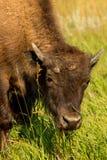 北美野牛西奥多・罗斯福国家公园 图库摄影