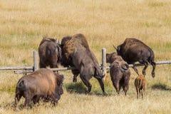 北美野牛跳跃的篱芭 库存照片