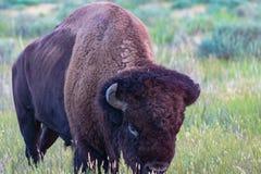 北美野牛通配生活的大草原 库存图片