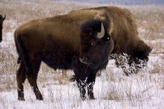 北美野牛雪 库存照片