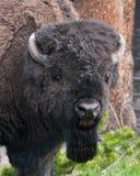 北美野牛题头射击 库存图片