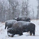 北美野牛飞雪 库存图片