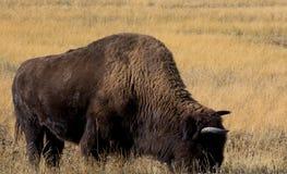 北美野牛黄石 免版税库存照片
