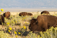 北美野牛,北美野牛北美野牛 库存图片