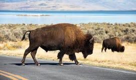 北美野牛,羚羊海岛 库存图片