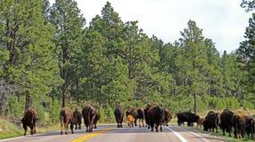北美野牛阻拦路的水牛城牧群在Custer国家公园 免版税库存图片