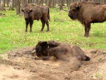 北美野牛洗沙子浴 免版税库存图片