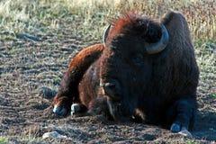 北美野牛水牛城休息在Custer国家公园的公牛 库存图片