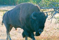 北美野牛水牛城伸出他的公牛舌头在峡谷村庄附近在黄石国家公园在怀俄明 免版税图库摄影