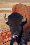 北美野牛水牛城伸出他的舌头的公牛在风穴国家公园在南达科他美国黑山  免版税库存照片