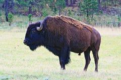 北美野牛水牛城公牛在风穴国家公园 库存图片