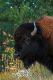 北美野牛水牛城公牛在风穴国家公园 免版税库存照片