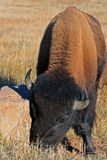北美野牛水牛城公牛在风穴国家公园 库存照片