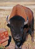 北美野牛水牛城公牛在风穴国家公园 免版税库存图片